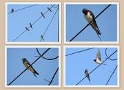 5th Jul 2018 - Swallows