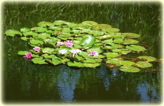 water lilies by gijsje