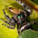 Earwig Dinner for Jumping Spider