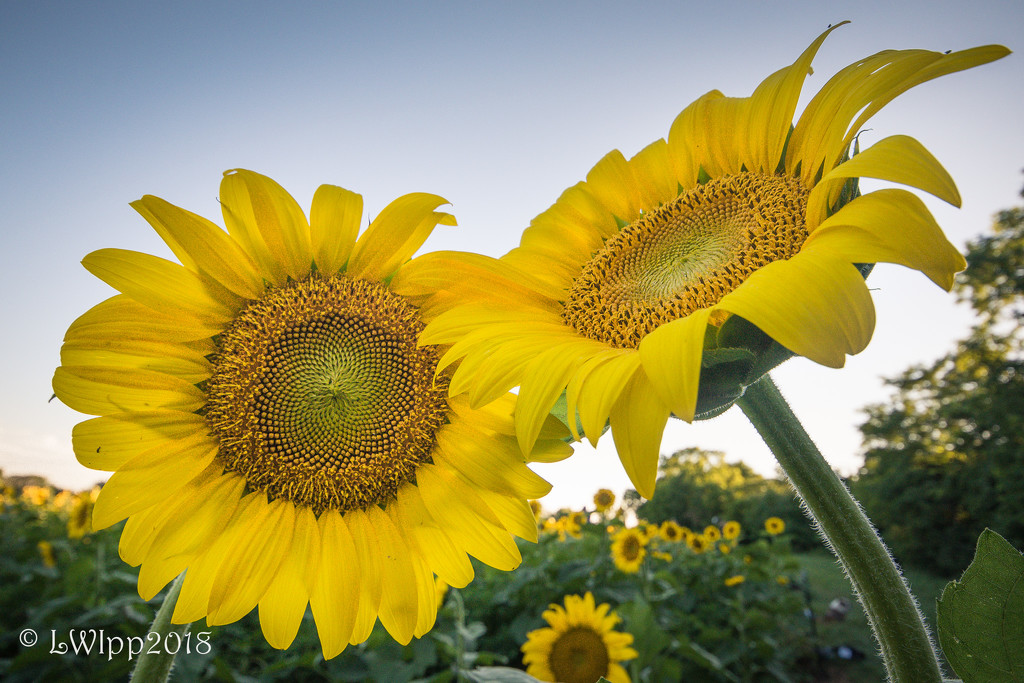 Love In The Sunflower Field  by lesip