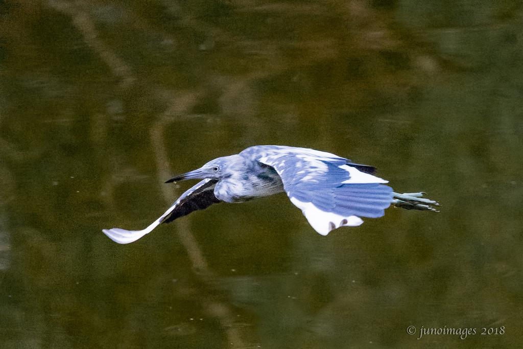 Juvenile Little Blue Heron by jnorthington