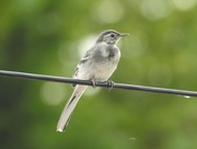 7th Jul 2018 - Young Pied Wagtail
