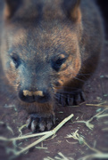 7th Jul 2018 - Southern Hairy Nosed Wombat