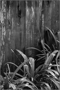9th Jul 2018 - Wooden Fence & Agapanthus Leaves