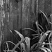 Wooden Fence & Agapanthus Leaves