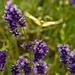 Flutterbye Butterfly