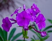 9th Jul 2018 - Purple flower