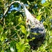 Small Eggar Moth nest