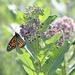 Monarch on milkweed!