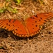 Gulf Fritillary Butterfly on the Ground!