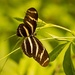 Zebrawing Butterfly!