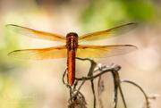 28th Sep 2017 - Dragonfly Wingspan