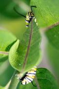 9th Jul 2018 - Shy Caterpillar
