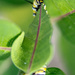 Shy Caterpillar
