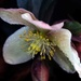 Hellebore after a shower