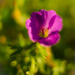 Bloody geranium