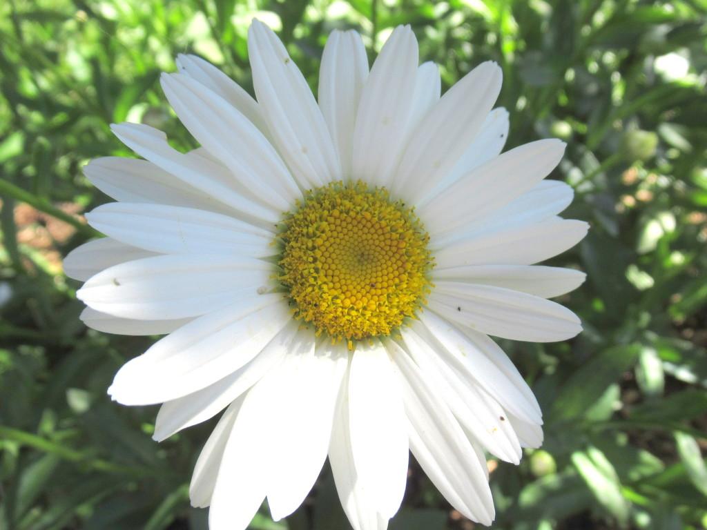 Daisy by bruni