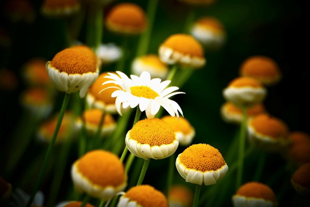 Daisy Cakes by carole_sandford