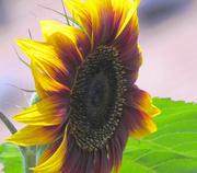 10th Jul 2018 - Sunflower