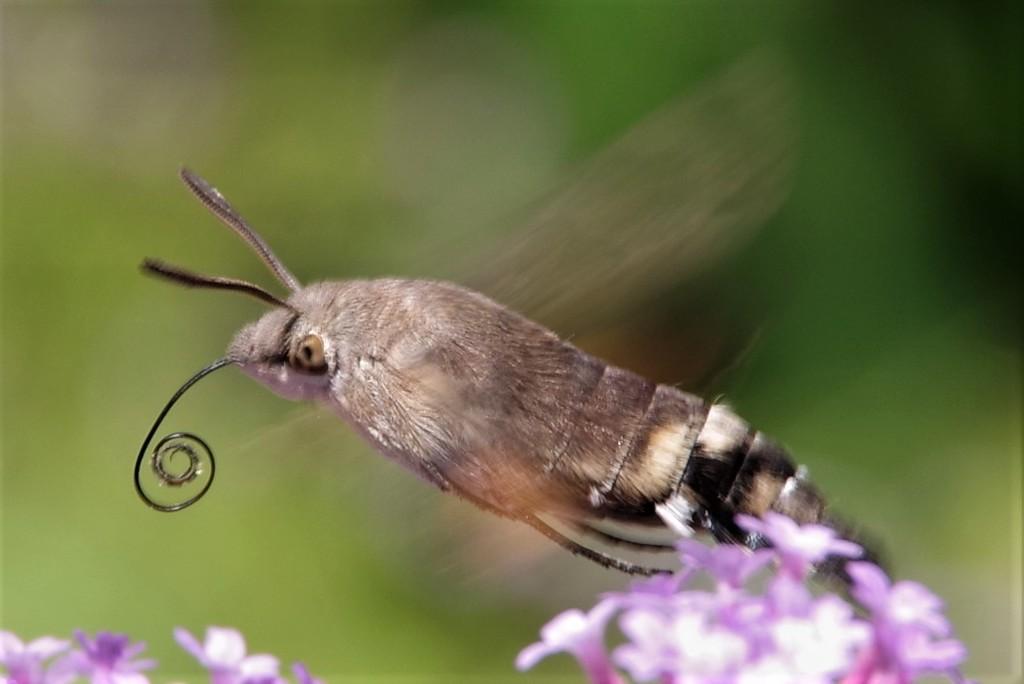 Hummingbird Hawkmoth by 30pics4jackiesdiamond
