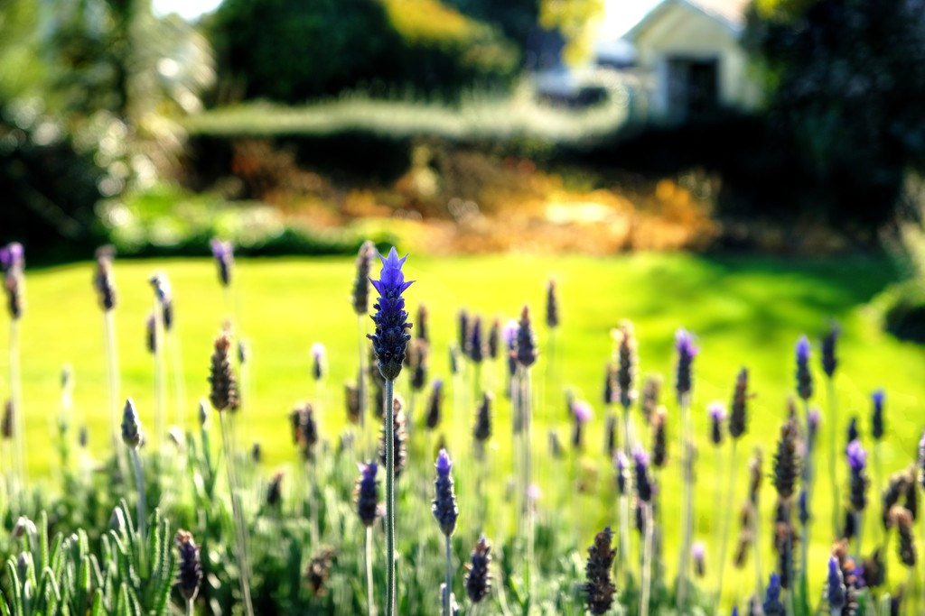 Lavender Blue dilly dilly by maggiemae