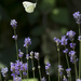 Flutter By the Lavender