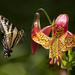 Swallowtail Flying To Tiger Lily