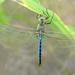 Blue Darter Dragonfly!