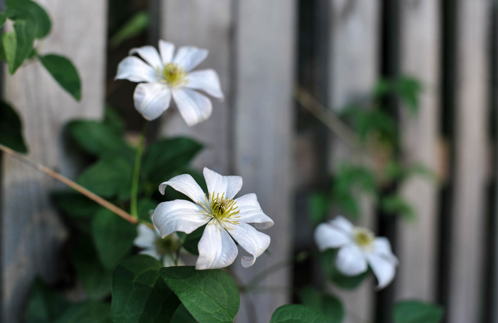 White Clematis by loweygrace