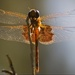 Dragonfly, Just Chillin!