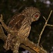 Barred Owl After Dark!