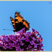 Small Tortoiseshell Butterfly And Buddleia