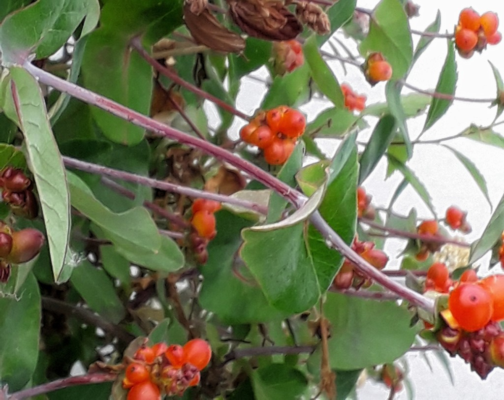 Berries on the honeysuckle by mave