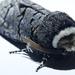 Grey moth ( with furry head )