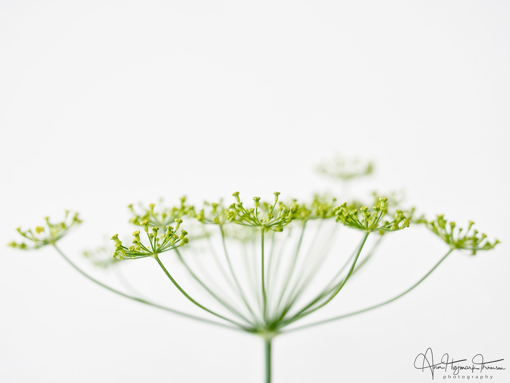 Dill flowers by atchoo