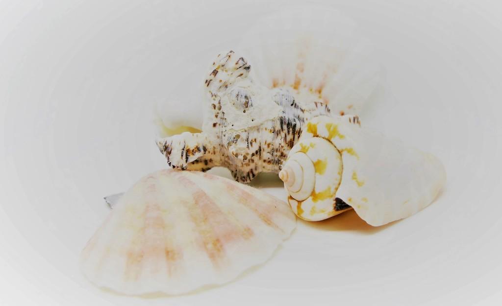 Hi key Shells by carole_sandford