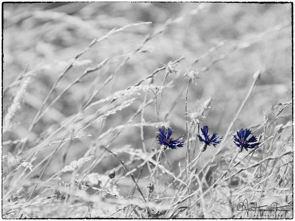 Cornflowers by atchoo