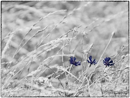Cornflowers by atchoo