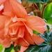 Hugh's Begonias