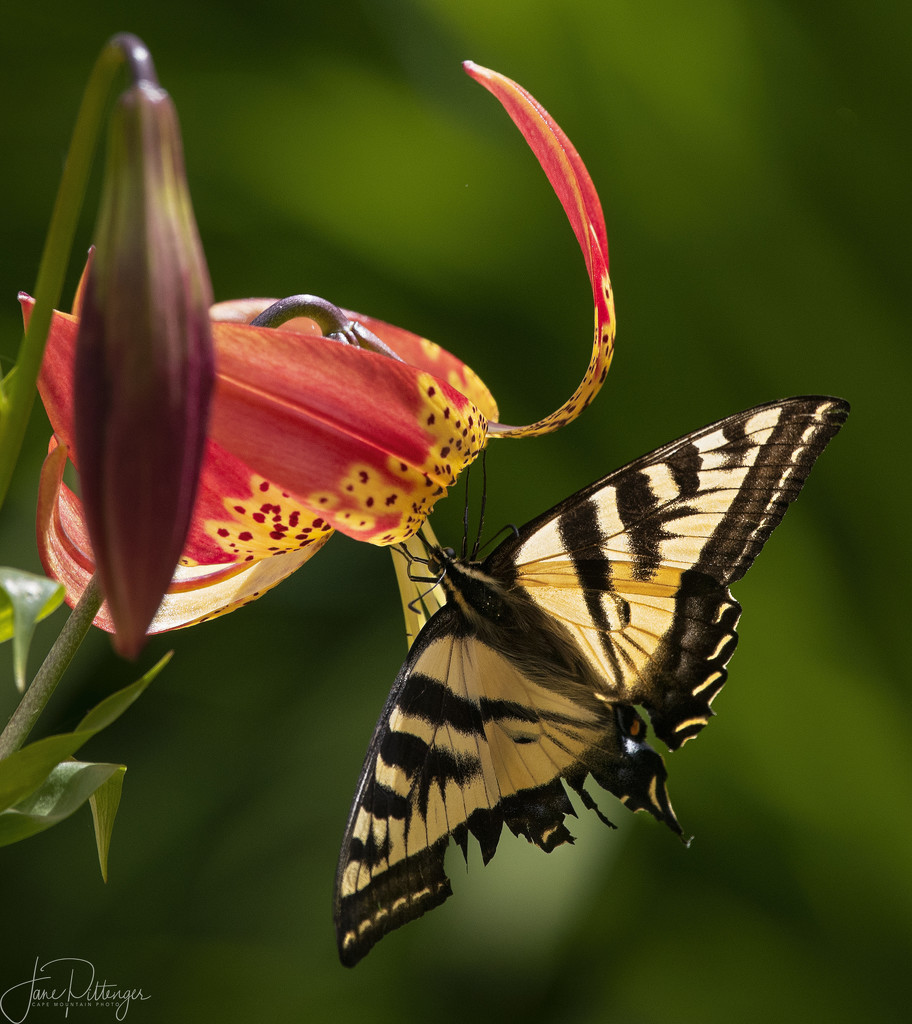 Swallowtail with Torn Wing  by jgpittenger