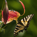 Swallowtail with Torn Wing