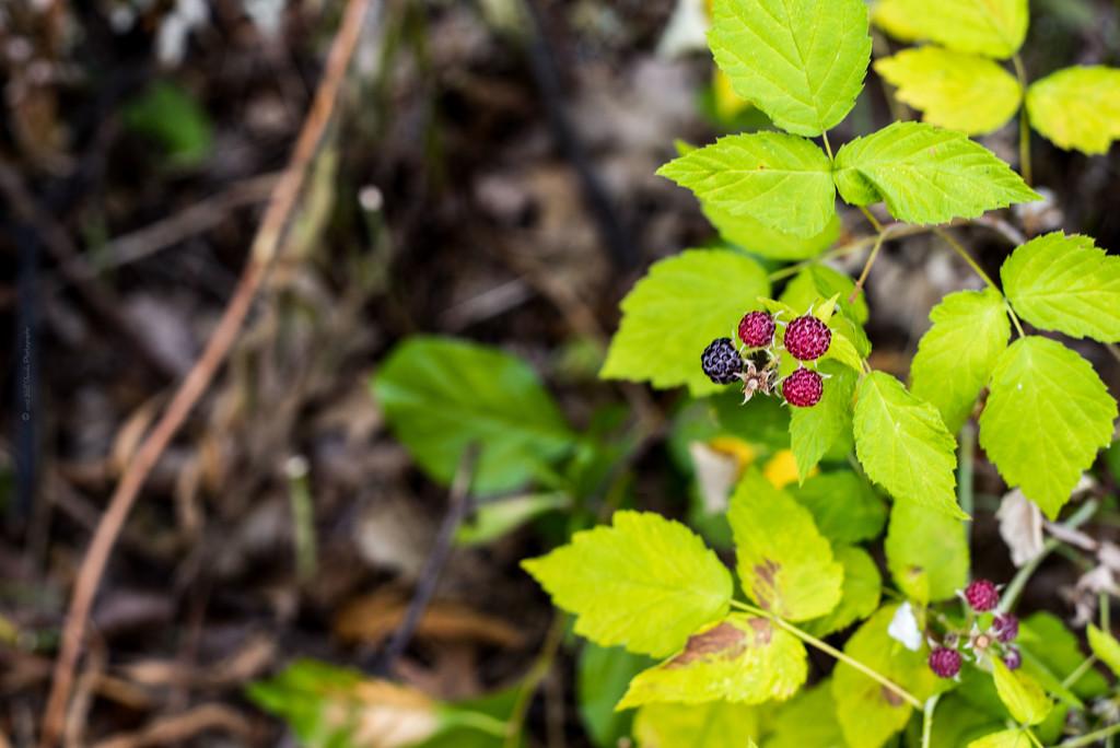 Black Raspberries by bill_fe