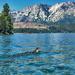 Tahoe Ducks