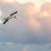 Australasian Gannet, Takapu by yorkshirekiwi