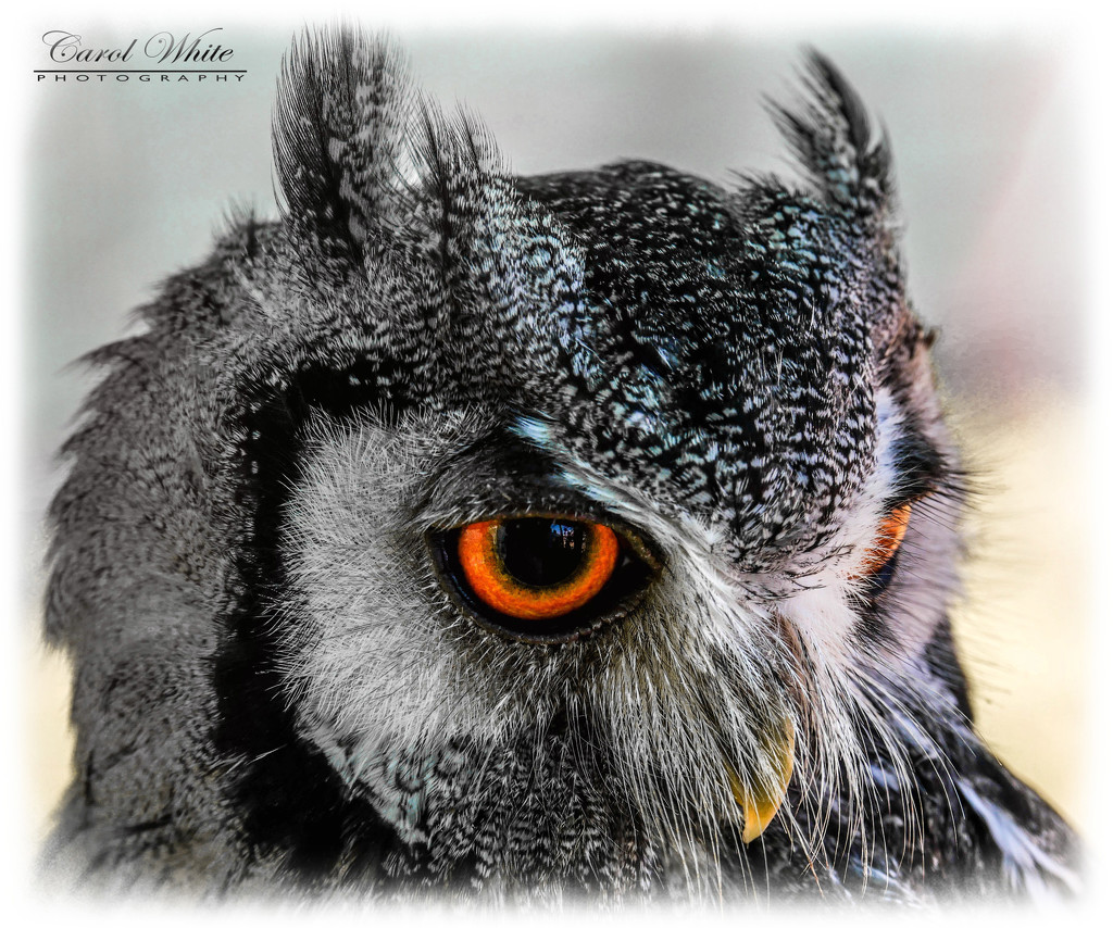 White-Faced Scops Owl by carolmw