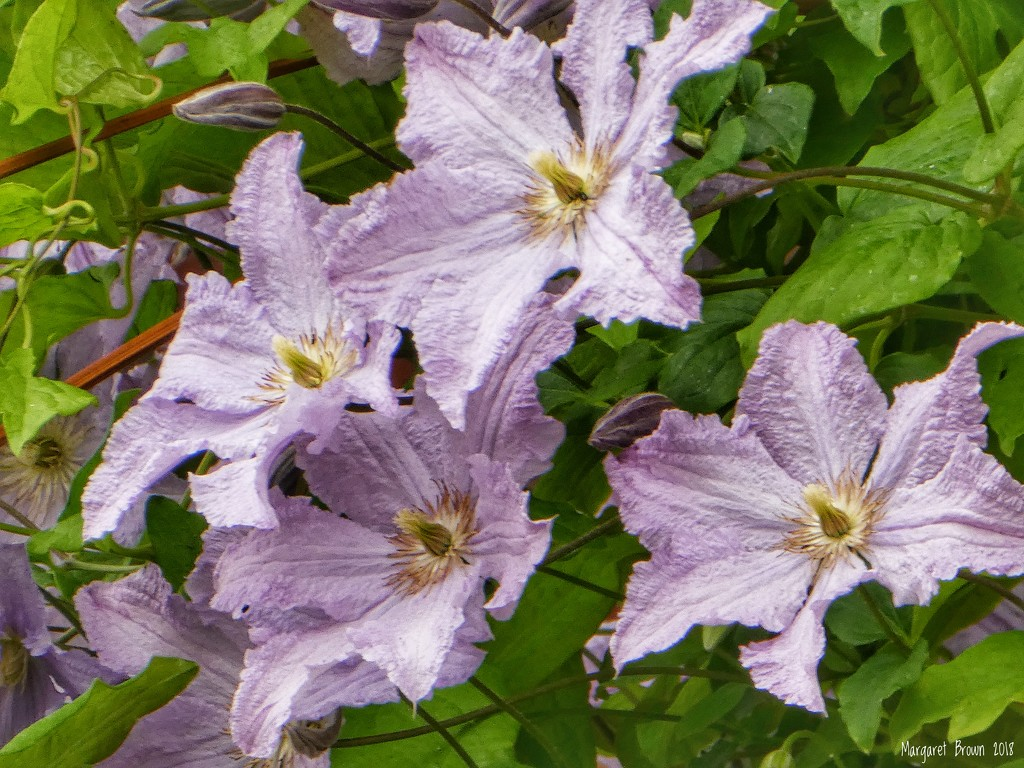 Clematis by craftymeg