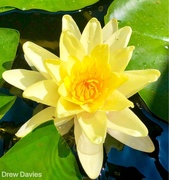 12th Jul 2018 - water lily