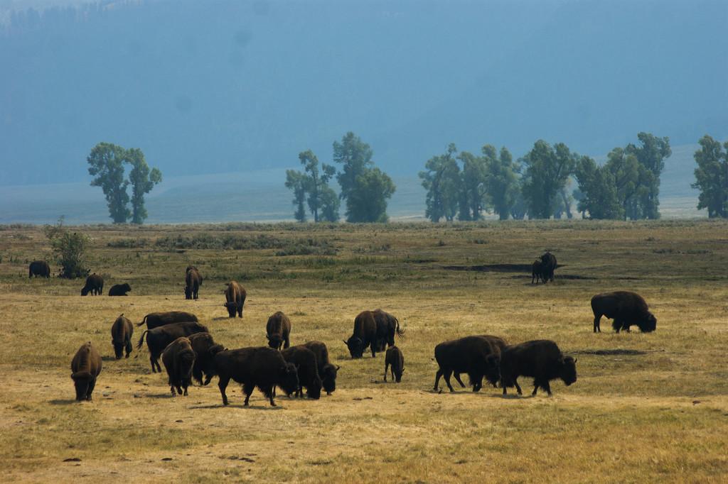 Yellow Stone National Park  by harsha