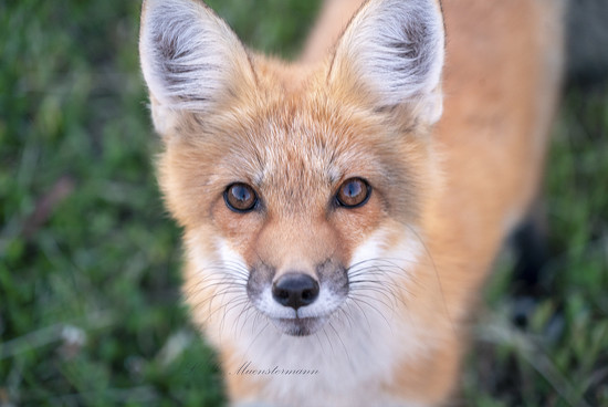 I *DID HOPE* to get a fox photo while on PEI ... by Weezilou