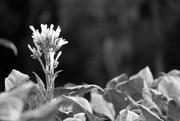12th Jul 2018 - Minimal tobacco flower